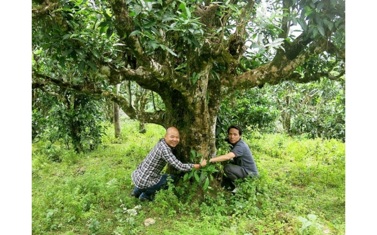 Ancient Tea Tree In Viet Nam